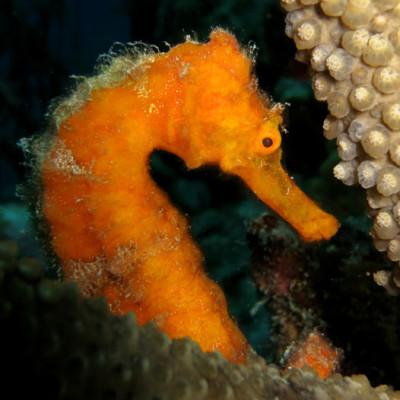 Grenada Diving - Seahorse